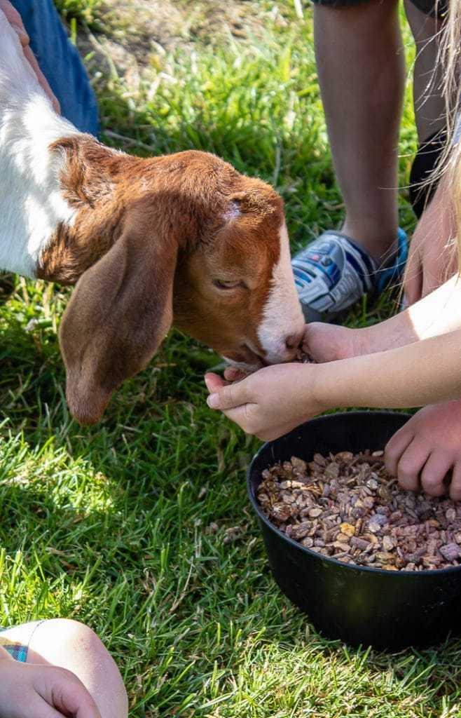 Feeding animals at Feather Down Farm, Ilfracombe, Devon glamping