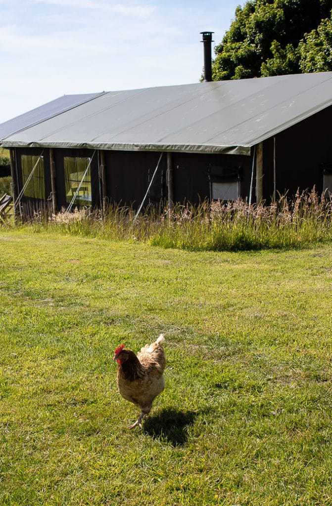 Chicken in front of canvas lodge at Ilfracombe Featherdown Farm