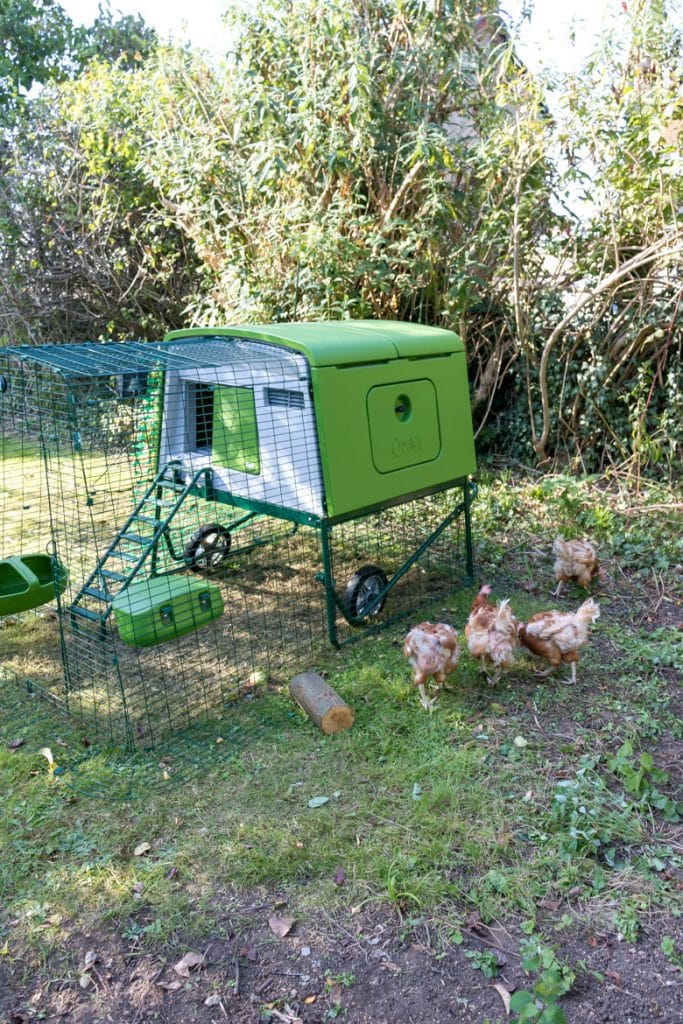 Rescue chicken free ranging outside an Omlet Eglu Cube plastic chicken coop